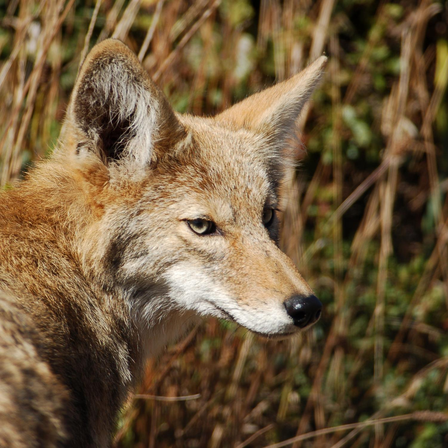 File photo of a coyote via Wikicommons.